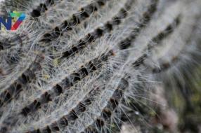 Eikenprocessierups Wijchen: mogelijk bestrijding met nematoden, stimuleringsregeling voor nestkasten